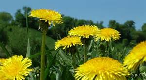 Poem of Sitting Outside at a Silent Retreat, #4: Dandelions! (1/2)